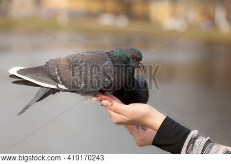 Two Pigeons Close Up