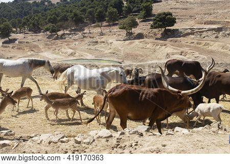 A Herd Of Wild Animals - Donkeys, Goats, Ponies, Sheep, Deer, Horses - Graze In The Vast Territory O