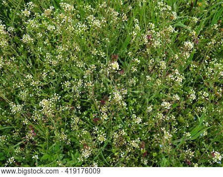 Shepherd's Purse Plant In The Meadow. Capsella Bursa-pastoris. Meadow Or Field. Lawn In The Forest.