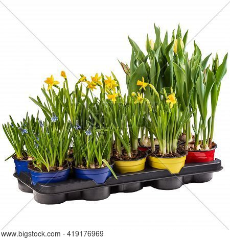Mix Of Spring Flowers Ready For Sale, Muscari, Daffodil, Tulip In Flowerpot Isolated On White Backgr
