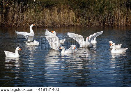 The White Goose Goes Swimming In The Pond And Flapping Its Beautiful Wings