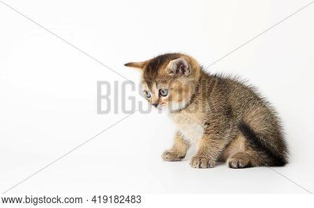Little Scottish Straight Kitten Sits Sideways On A White Background, Chinchilla Cat