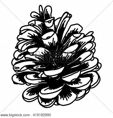 Hand-drawn Illustrations. Pine Cones Isolated On White. Forest Vintage Element.