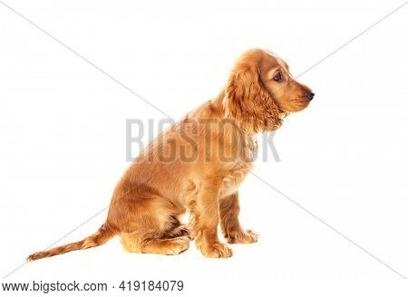 Small cocker spaniel dog with a beautiful blonde hair isolated on a white background