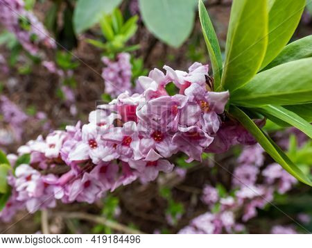 Macro Shot Of Four-lobed Pink And Light Purple Strongly Scented Flowers Of Toxic Shrub Mezereon Or F