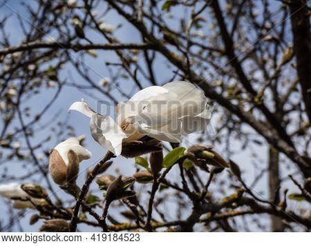 White Flowers Of Blooming Mokyeon Or Kobus Magnolia (magnolia Kobus Dc. Var. Borealis) With Bright B