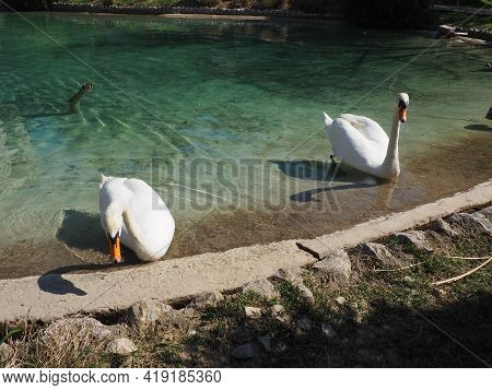 Two White Swans On The Shore Of The Reservoir. Birds By The Water Are Cleaning Their Feathers. Stani
