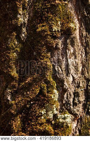 Moss cover on tree bark background. Close-up moss texture on tree surface.