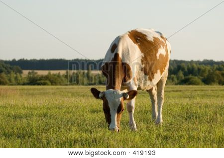 a cow standing on the meadow and pasturing poster