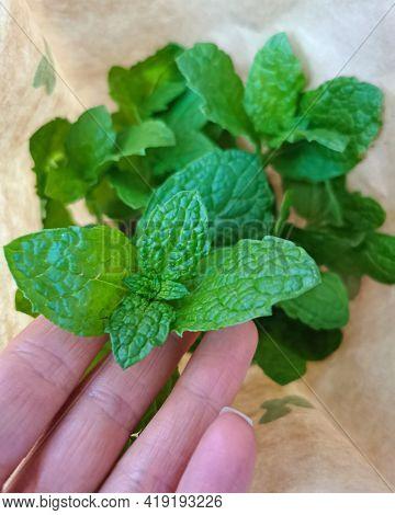 Mint Leaves. Closeup Of Fresh Green Mint Leaves.