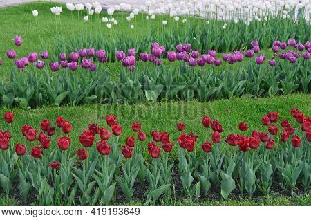 colorful tulips in the park on a flower bed