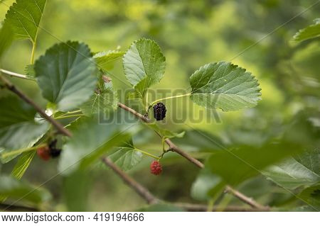 Wild Black Mulberry Growing In The Forest