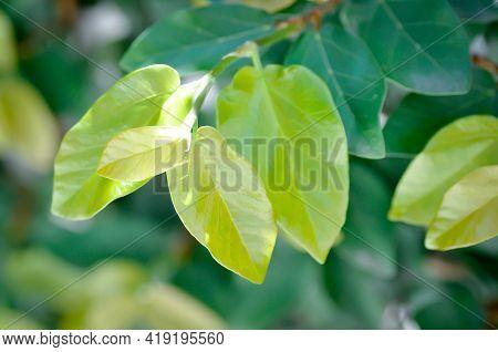 Ficus Pumila Or Climbing Fig, Creeping Fig Plant
