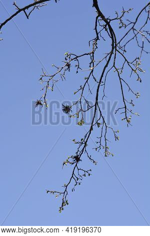 Turkish Hazel Branch With New Leaves And Seeds Against Blue Sky - Latin Name - Corylus Colurna
