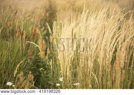 Beautiful Abstract Nature Landscape With Meadow Grass And Cereals Soft Focus Background. Inspiration