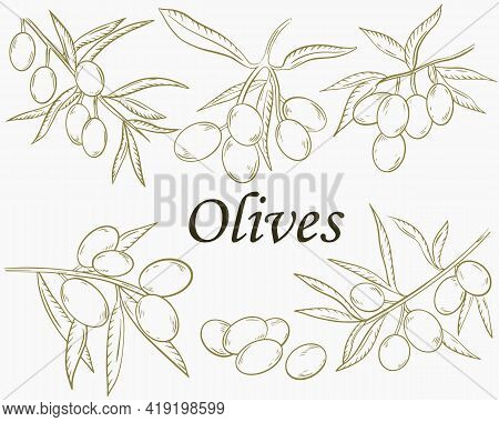 Set Of Branches With Olives. Sketch The Fruits Of The Olives On The Branch. Vector. Collection Of Va