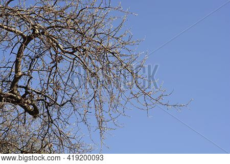 White Poplar Branches With New Leaves Against Blue Sky - Latin Name - Populus Alba