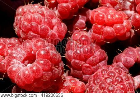 Industrial Cultivation Of Raspberry Plant. Ripe Red Fruits Raspberry Macro Close Up. Raspberry Fruit