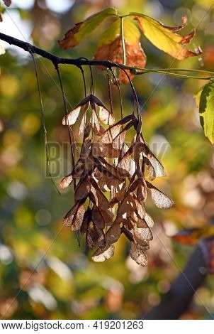 Backlit Winged Dried Maple Seeds Hanging From A Tree Branch In Autumn