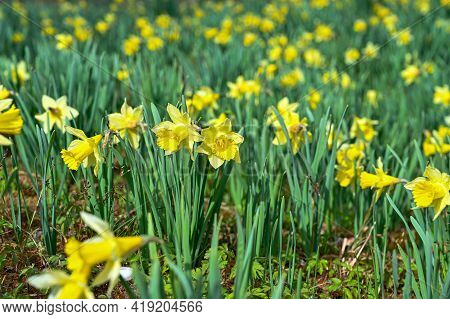 Lots Of Yellow Daffodils In A Garden