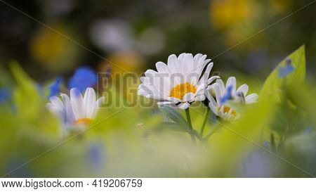 Beautiful White Daisies (marguerite) In Colorful Flowerbed.  Panoramic Format White Copy Space.