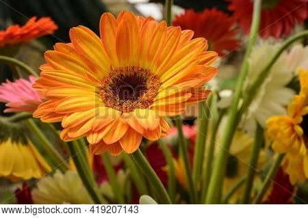 Very Nice Colorful Gerber Flower Close Up