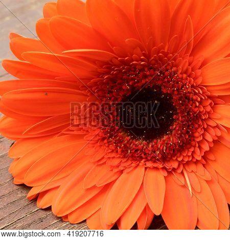 Very Pretty Orange Gerber Flower In The Sunshine