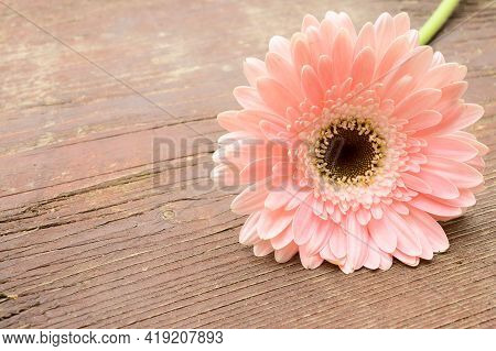 Very  Nice Colorful Pink Gerber Flower Close Up