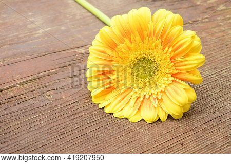 Very Pretty Colorful Yellow Gerber Flower Close Up