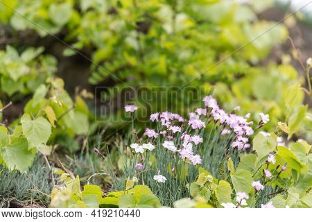 Spring Carnation On The Slopes. A Bright Bush Of A Small Lilac Carnation.