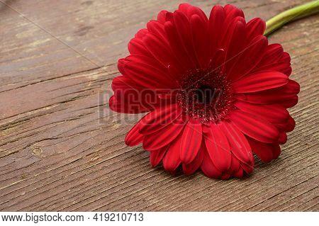 Very Nice Red Gerber Flower Close Up