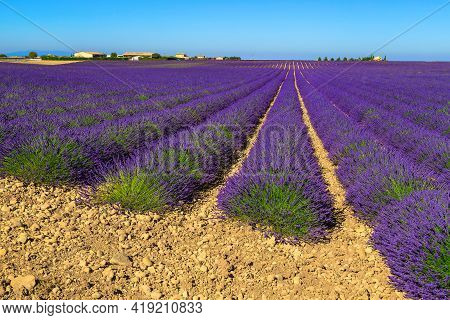 Wonderful Summer Flowery Landscape With Purple Lavender Rows. Agricultural Lavender Plantation With
