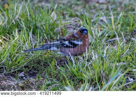 The Common Chaffinch Or Simply The Chaffinch, Fringilla Coelebs Is A Common And Widespread Small Pas