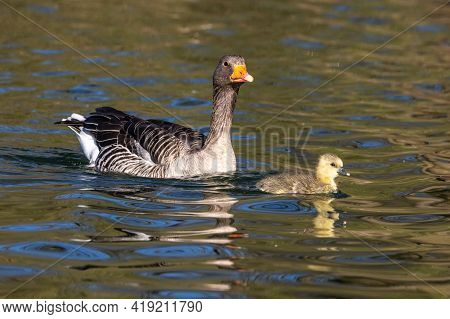 Family Of Greylag Geese With Small Babies. The Greylag Goose, Anser Anser Is A Large Goose Species O