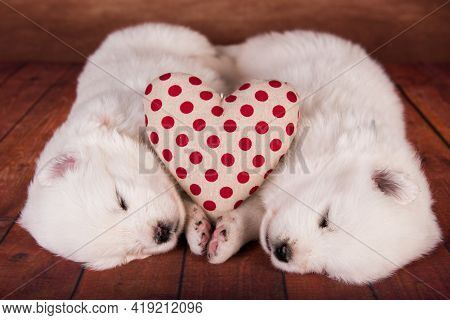 Two Small One Month Old Cute White Samoyed Puppies Dogs With Red Heart