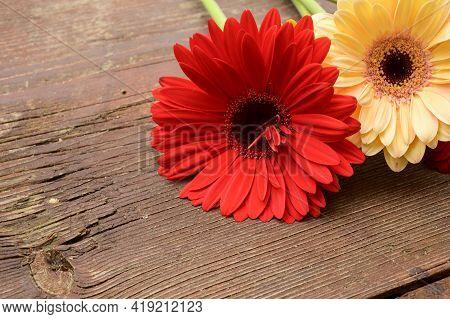 Gerber Flower Close Up In The Sunshine