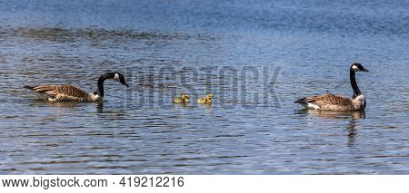 Canada Goose, Branta Canadensis Family With Young Goslings At A Lake Near Munich In Germany. Branta