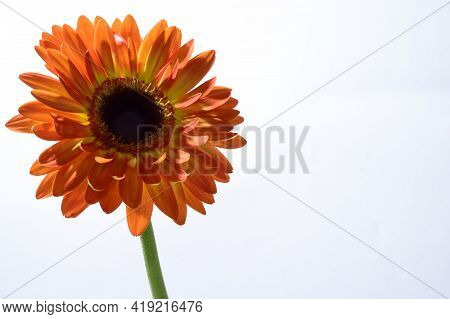 Very Pretty Colorful Gerber Flower In The Sunshine
