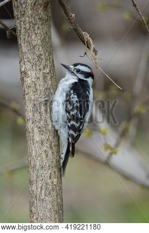 Downy Woodpecker Is Perched And On A Nearby Tree