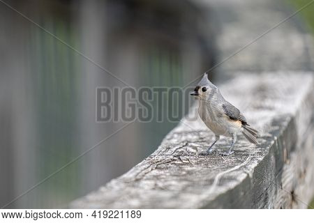 Tufted Titmouse Has Landed Nearby And Waits For You To Feed Some Birdseed