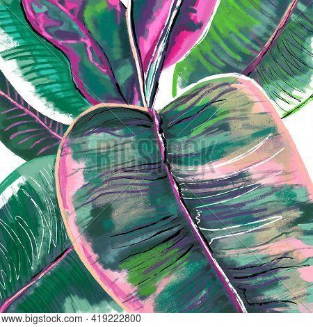 Hand-drawn Botanical Illustration Of Ficus Elastica Belize Leaves In Green, Pink, Purple Colors. Bot