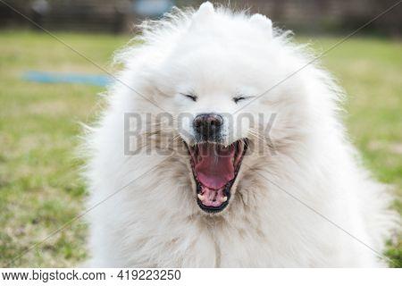 White Fluffy Samoyed Dog Yawning Outside On Nature