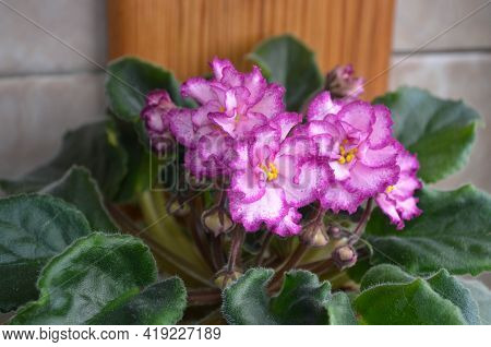 A Close Up Picture Of A Bunch Beautiful And Bright Pink And White Flowers With Green Leaves. Housepl