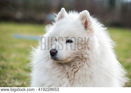 White Fluffy Old Samoyed Dog Closeup Portrait