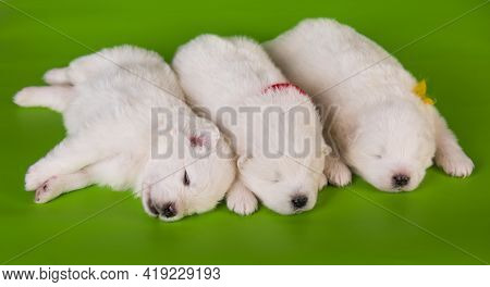 Three Small One Month Old Cute White Samoyed Puppies Dogs