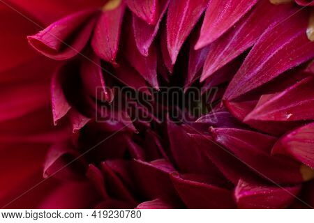 Dahlia Core. Plenty Fragile Petals Of Garden Season Dahlia Flower. Natural Backdrop