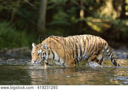 The Siberian Tiger Panthera Tigris Tigris, Or Amur Tiger Panthera Tigris Altaica In The Forest Walki