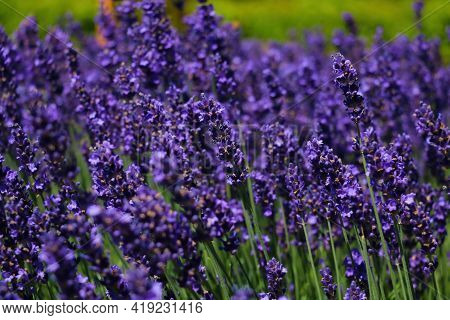 Bright, Fragrant Lavender Fields Bloom On A Sunny Day