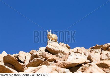 Southern Viscacha From Bolivia. Bolivian Wildlife. Animal
