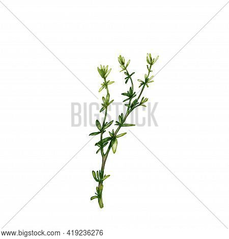 Thyme Fresh Green Branches And Leaves. Vintage Vector Hatching Color Hand Drawn Illustration Isolate